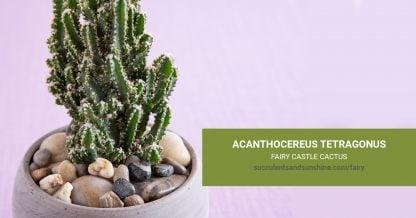 Acanthocereus tetragonus Fairy Castle care and propagation information