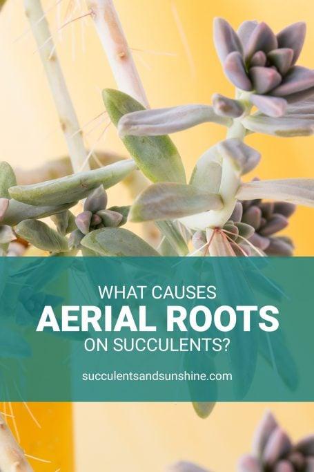 aerial roots purple succulents