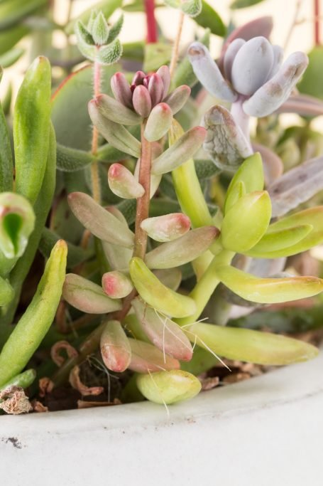 succulents with aerial roots