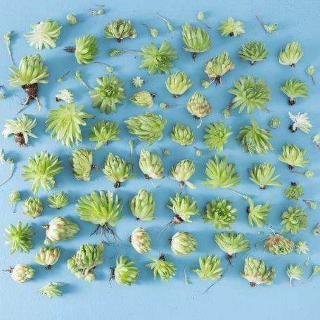 sempervivum succulent chicks separated