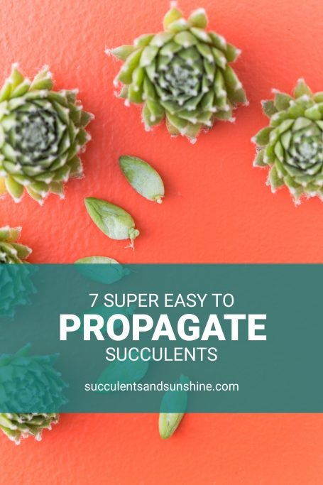 these succulents propagate easily leaves cuttings chicks