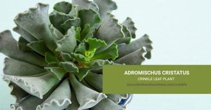 Adromischus cristatus Crinkle-Leaf Plant care and propagation information
