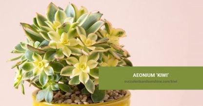 Aeonium 'Kiwi' care and propagation information