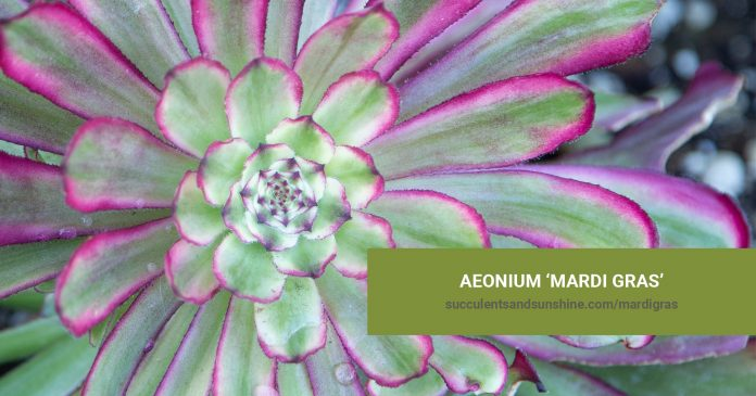 Aeonium 'Mardi Gras' care and propagation information