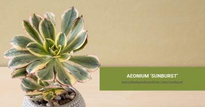 Aeonium 'Sunburst' care and propagation information