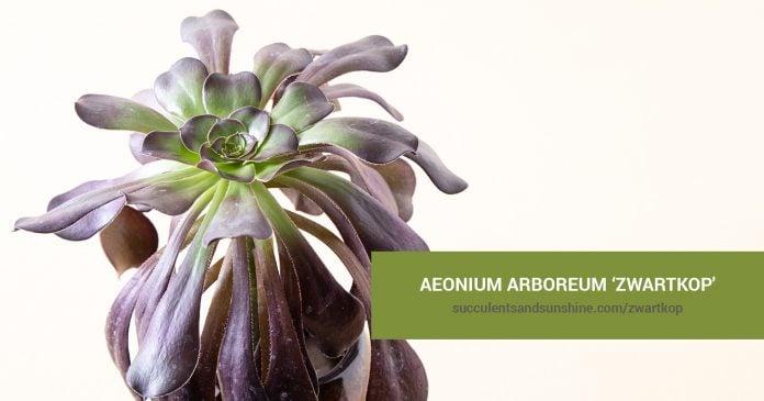 Aeonium arboreum 'Zwartkop' care and propagation information