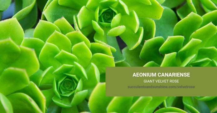 Aeonium canariense 'Giant Velvet Rose' care and propagation information
