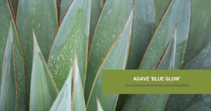 Agave 'Blue Glow' care and propagation information