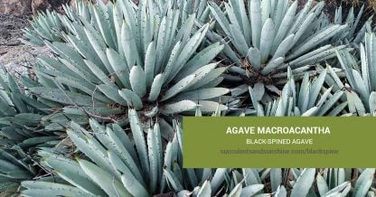 Agave macroacantha Black-spined Agave care and propagation information