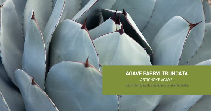 Agave parryi truncata Artichoke Agave care and propagation information