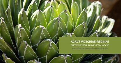 Agave victoriae-reginae Queen Victoriacare and propagation information