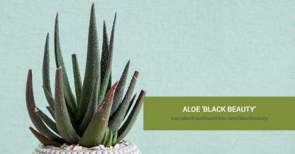 Aloe 'Black Beauty'care and propagation information