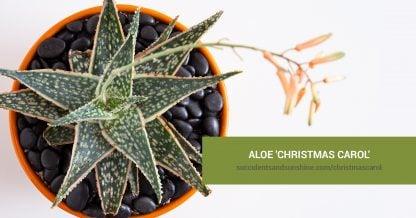 Aloe 'Christmas Carol' care and propagation information