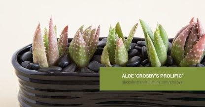 Aloe 'Crosbys Prolific' care and propagation information