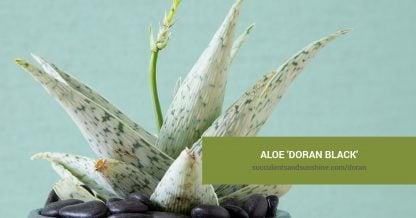 Aloe 'Doran Black' care and propagation information