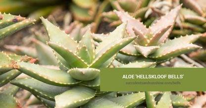 Aloe 'Hellskloof Bells' care and propagation information