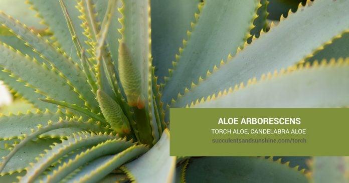 Aloe arborescens Torch Aloe Krantz Aloe Candelabra care and propagation information
