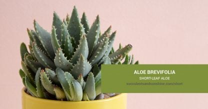 Aloe brevifolia Short-leaf Aloe care and propagation information