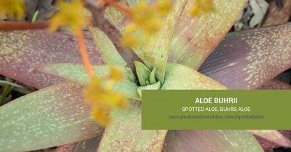 Aloe buhrii Spotted Aloe care and propagation information