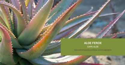 Aloe ferox Cape Aloe care and propagation information