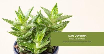 Aloe juvenna Tiger Tooth Aloe care and propagation information