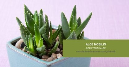 Aloe nobilis Gold Tooth Aloe care and propagation information