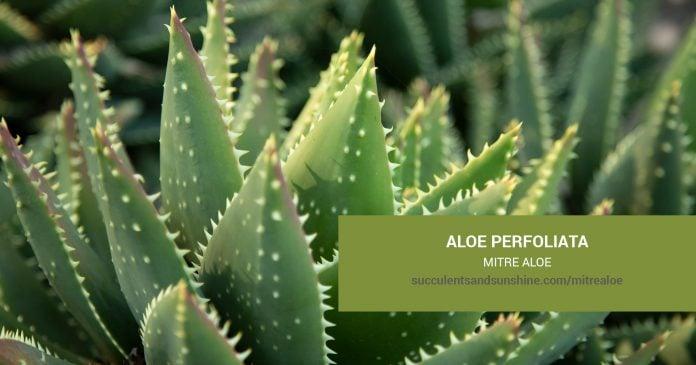 Aloe perfoliata Mitre Aloe care and propagation information