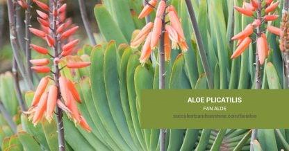 Aloe plicatilis Fan Aloe care and propagation information