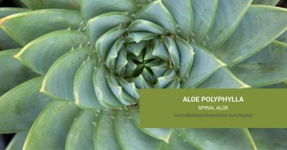 Aloe polyphylla Spiral Aloe care and propagation information