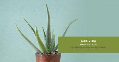 Aloe vera Medicinal Aloe care and propagation information