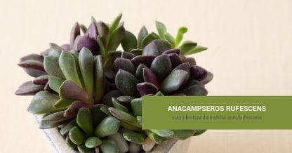 Anacampseros rufescens care and propagation information