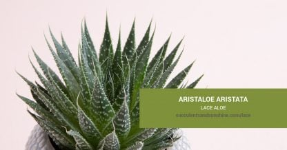 Aristaloe aristata Lace Aloe care and propagation information