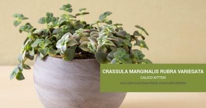 Crassula marginalis rubra variegata Calico Kitten care and propagation information