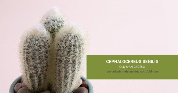 Cephalocereus senilis Old Man Cactus care and propagation information