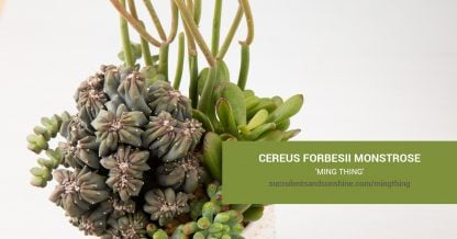 Cereus forbesii monstrose 'Ming Thing' care and propagation information