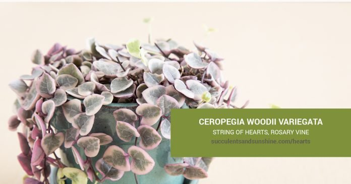 Ceropegia woodii variegata String of Hearts care and propagation information