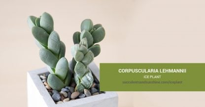 Corpuscularia lehmannii Ice Plant care and propagation information