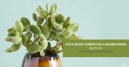 Cotyledon tomentosa ladismithenis care and propagation information