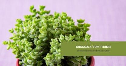 Crassula 'Tom Thumb' care and propagation information