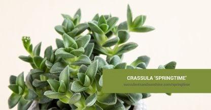 Crassula Springtime care and propagation information