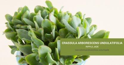 Crassula arborescens undulatifolia Ripple Jade care and propagation information