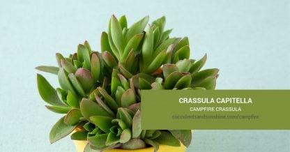 Crassula capitella Campfire Crassula care and propagation information