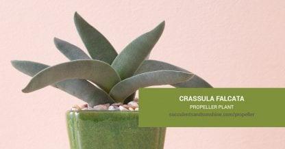 Crassula falcata Propeller Plant care and propagation information