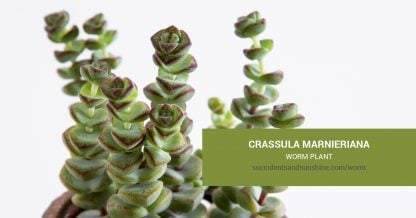 Crassula marnieriana Worm Plant care and propagation information