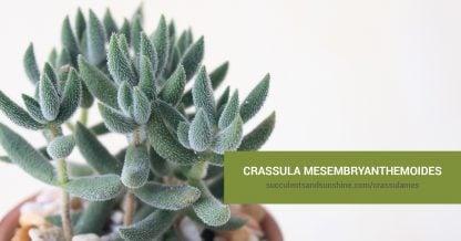 Crassula mesembryanthemoides care and propagation information