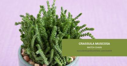 Crassula muscosa Watch Chain care and propagation information