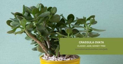 Crassula ovata Classic Jade care and propagation information