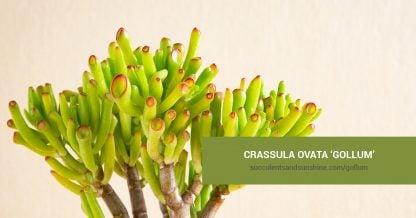 Crassula ovata 'Gollum' care and propagation information