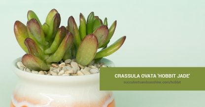 Crassula ovata 'Hobbit Jade' care and propagation information