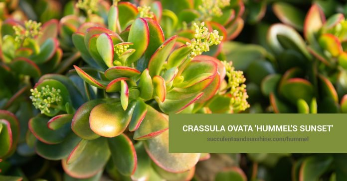 Crassula ovata 'Hummel's Sunset'care and propagation information